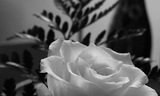 White Rose Noir
